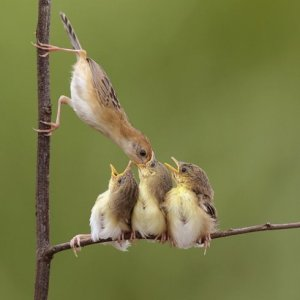 Mother bird feeding babies.