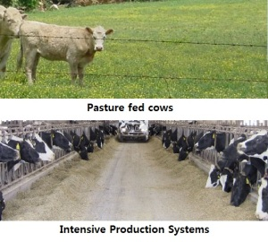 Pasture Raised Cows versus Production Systems
